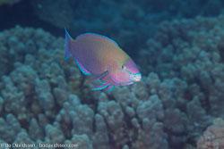 BD-100924-Fury-Shoal-2256-Chlorurus-sordidus-(Forsskål.-1775)-[Daisy-parrotfish].jpg